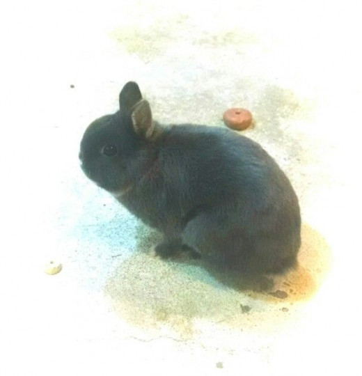 This is Milo, my daughters pet Netherland Dwarf rabbit.