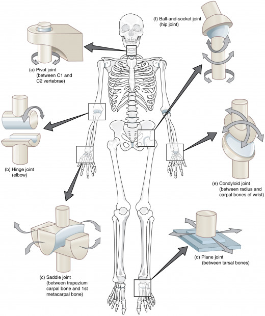 Joints of anatomical skeleton