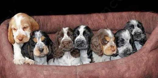 Cocker Spaniels have a range of colour coats, including: black, golden, red, brown, blue roan and the mixed colours that you see in this image.