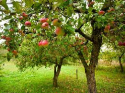 Apple Trees are a Great Addition to your Backyard Garden