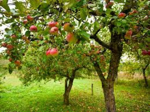 Perfect Backyard Tree : Apple Trees are a Great Addition to your Backyard Garden