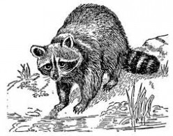 Lovely artwork of a raccoon.