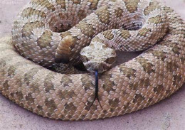 This is a rattlesnake. Please do not bother this dangerous reptile.
