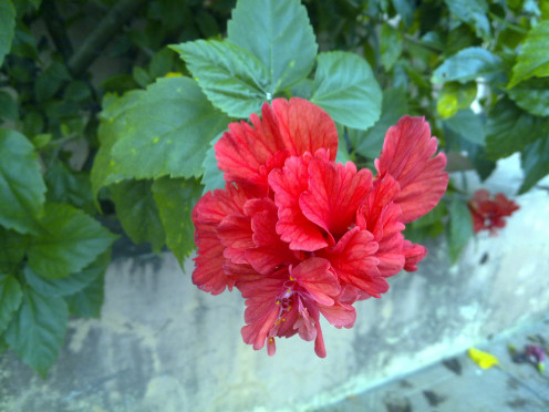 Hibiscus flowers, mom's favorite