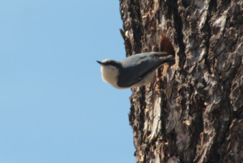 This Pigymy Nuthatch is pictured at the door of her nest.