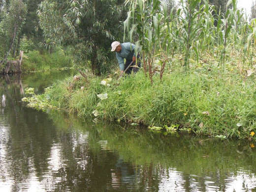 Farmer weeding crops on his Chinampa