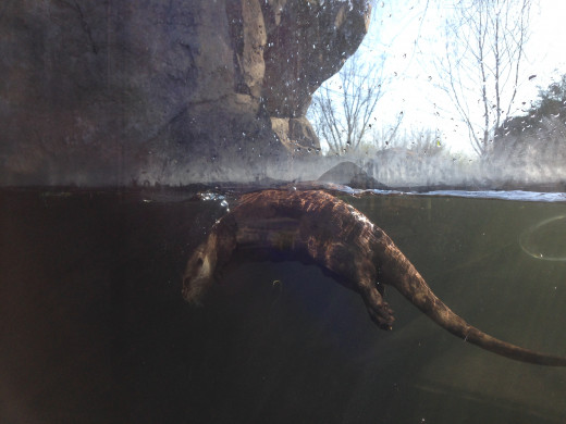 The otters really liked coming right up to the glass to play and look at visitors!