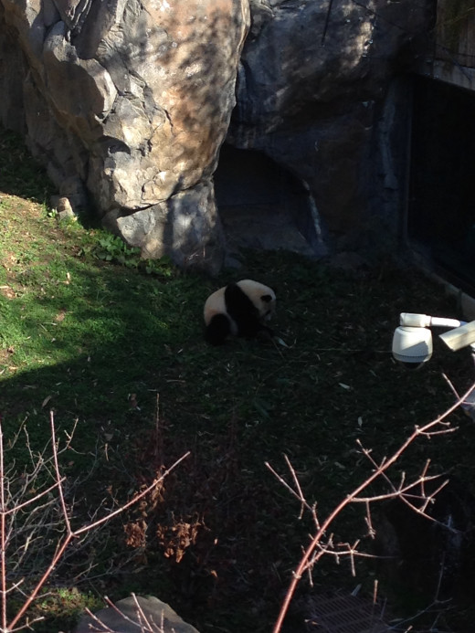 Bao Bao is the panda that was born in 2013! She's not such a little baby anymore!
