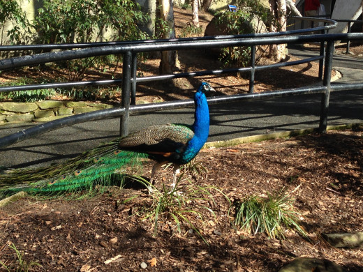 In the Aviary, birds can wander on the paths with the humans! Can you remember what we said about peacocks? Is this a male or a female?