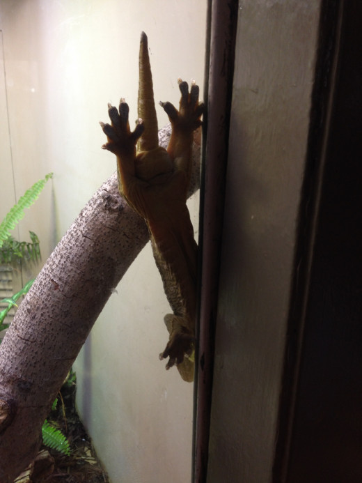 Are you wondering how this gecko is sticking to the glass on his habitat?