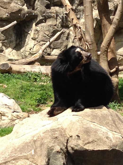 This guy is called a Spectacled Bear... Can you see why?