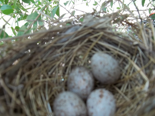 Cardinal Eggs that Momma Laid outside our front door in our Holly Tree EVERY YEAR!