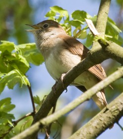 The Secret Sound of the Nightingale Song