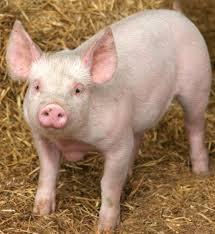 A cute pig.
