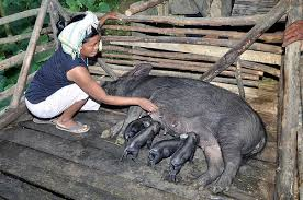 This pig farmer tends to a new litter of pigs.