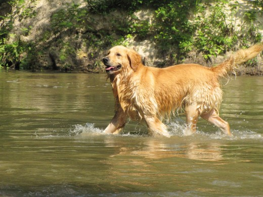 Another happy dog in a river