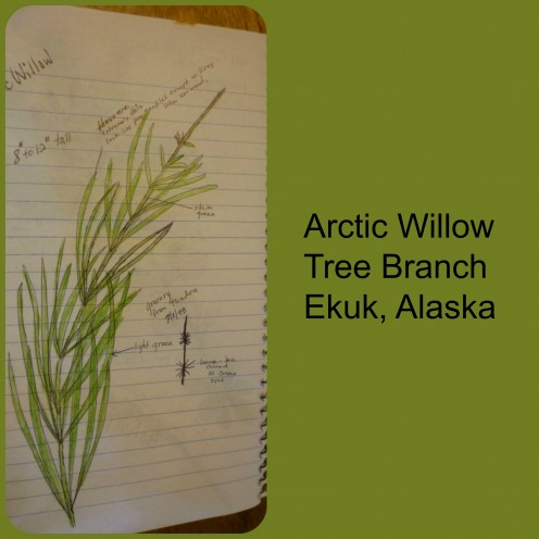 Arctic Willow Branch