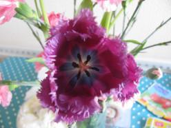 Inside a purple ragged-edged tulip