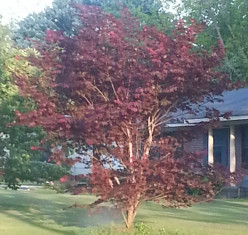 Does anyone know the name of this tree/bush with the deep maroon colored leaves?