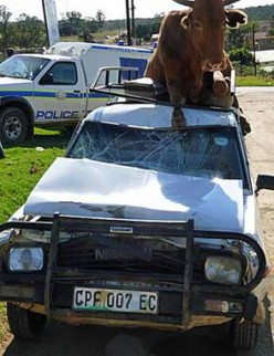 Another vehicle hit by a cow.