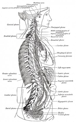 Human nervous system depicting the sympathetic chain. From Henry Gray's Anatomy of the Human Body (1918)
