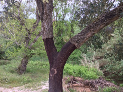 Where does cork come from? Answer - the Cork Oak tree