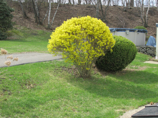 Forsythia bush on the side of my house