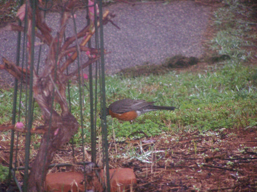 Reluctant Robin..do your Spring Dance...