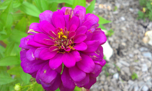 Zinnia-Purple Prince