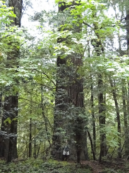 Redwoods - Avenue of Giants