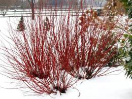 Arctic Fire™ - Red-Osier Dogwood - Cornus stolonifera. Excellent for cutting. Deer resistant.