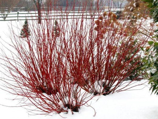 Arctic Fire™ - Red-Osier Dogwood - Cornus stolonifera. Excellent for cutting. Deer resistant.