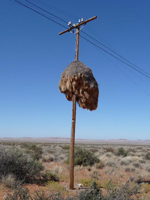 Sociable weavers build nests on telegraph poles to deter reptilian predators. Photo: Patrick Scales (Wiki Creative Commons)