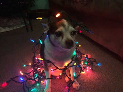 Here's a funny picture of my dog while we were decorating for Christmas... He loves it