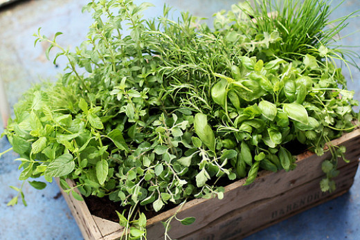 Fresh herbs grown at home. Instant cooking ingredient and medicinal use.
