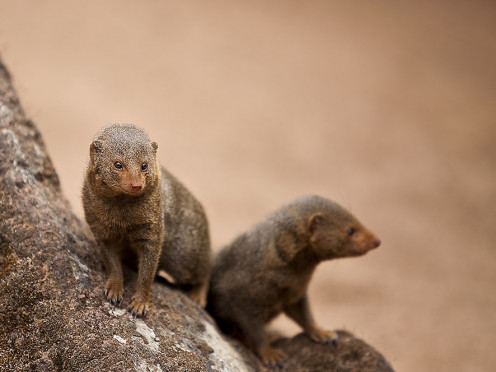 Dwarf mongooses are sociable animals, living in small groups that persist until the dominant female dies. Photo: Michal Rosa (Wiki Creative Commons).