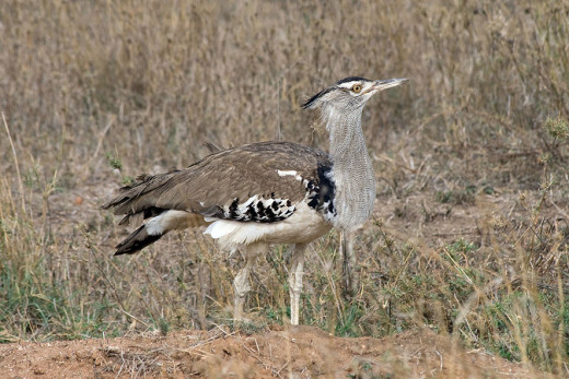Kori bustards spend much of their time walking around, combing the ground for insects or new grass shoots. Photo: Stig Nygaard (Wiki Creative Commons)