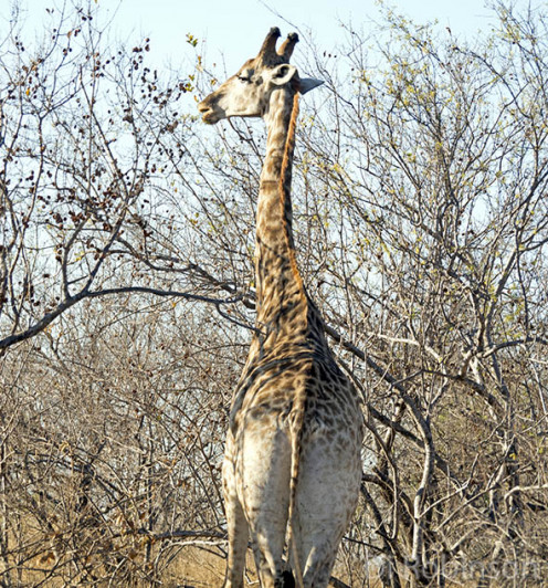 Giraffes stay on the alert for predators such as lions while grazing. Photo: Di Robinson.