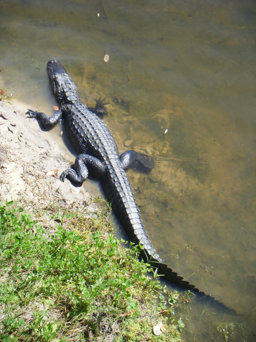 Alligator sightings are common at the Lettuce Lake Regional Park.  You can take a free guided nature tour along the boardwalk and scenic Hillsborough River, where park rangers will highlight native plants, birds, and often point out alligators.