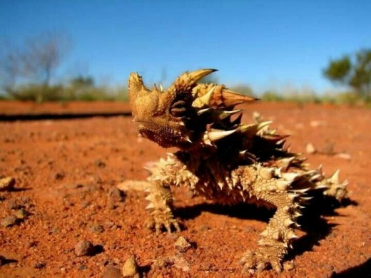 The Thorny Devil