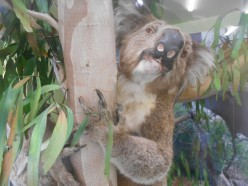 Koala Conservation Centre - Wildlife in Their Natural Habitats