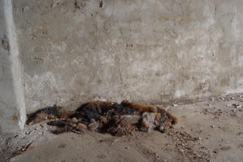 I found this dead fox in an empty barn of an empty farm