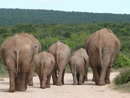 Pack of ponderous pachyderms pacing