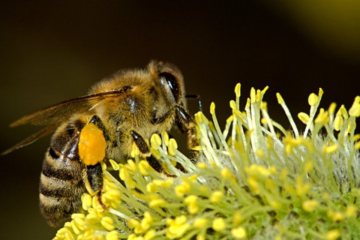 A female bee at work.