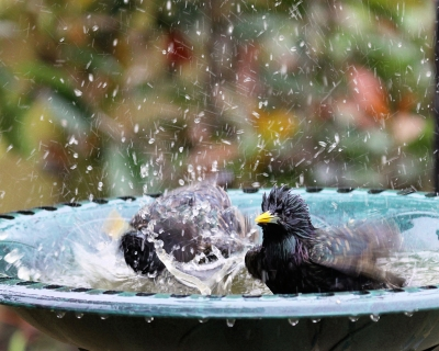 "Photo : ""Bird Bath"" by Paul Brentnall via www.freedigitalphotos.net"