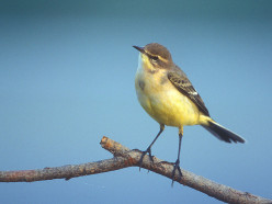 Yellow Wagtail      { Birds of Europe}