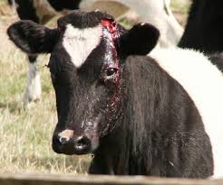 The aftermath of a dairy cow being de-horned. More than 50% of dairy cows undergo this.