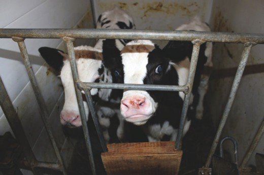 Veal calves as they wait to become meat