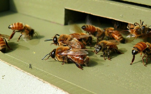 Honeybees headed out to forage.