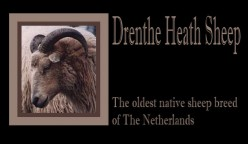 * Drenthe Heath Sheep: Oldest Sheep Breed of The Netherlands